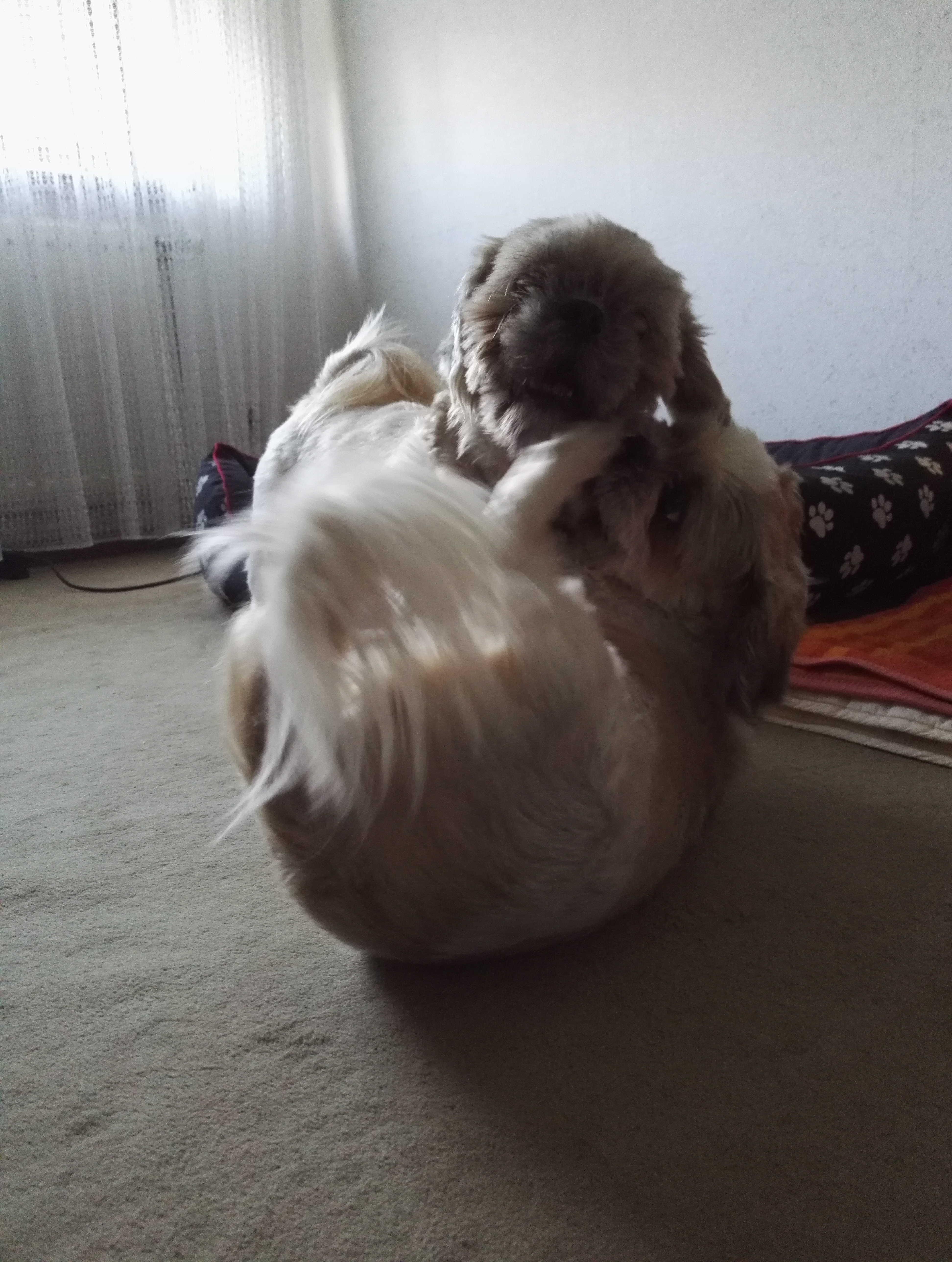 Neckarsulmer Hundepension, Shitsu